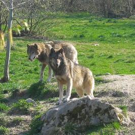 Parc animalier de Sainte Croix * Les Loups