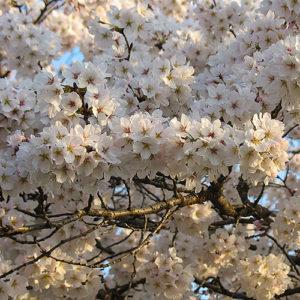 asie, Japon, Kyoto, culture et traditions, Chemin de la Philosophie, Sakura, souvenirs de voyages, Pixanne Photographies