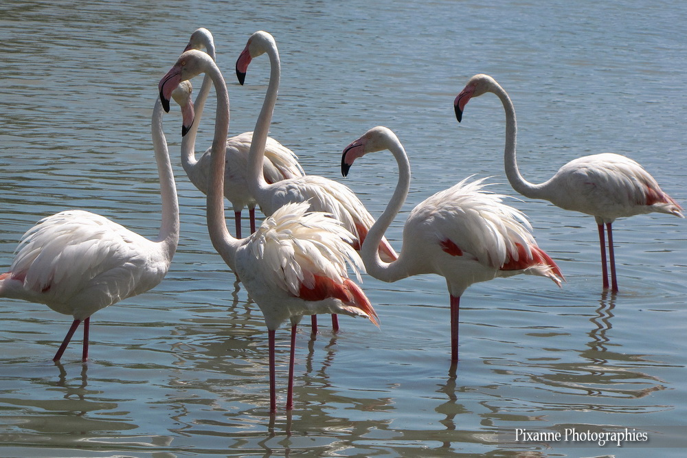 Europe, France, Occitanie, Gard, Camargue, Parc Ornithologique du Pon de Gau, Souvenirs de Voyages, Pixanne Photographies