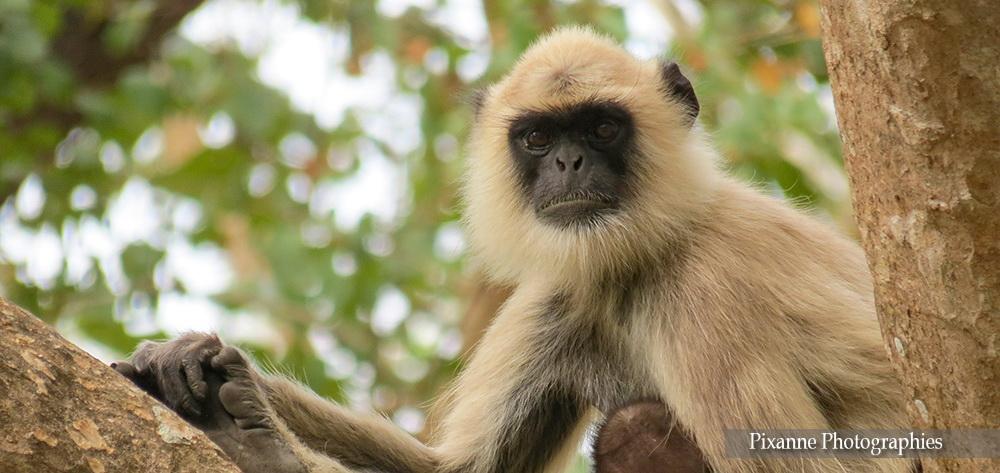 Asie, Inde du Sud, Tamil Nadu, Karnataka, Mudumalai National Park, Bandipur Tiger Réserve, Souvenirs de Voyages, Pixanne Photographies